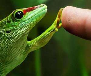 « Geckskin », surface adhésive inspirée par les pattes du gecko