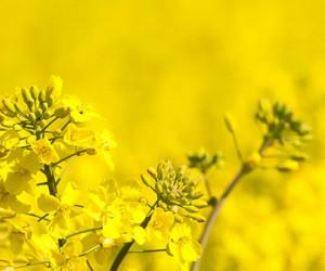 Tournesol et colza, des lipides d'intérêt pour la chimie verte