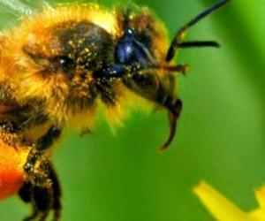 Les pesticides affaiblissent définitivement les abeilles