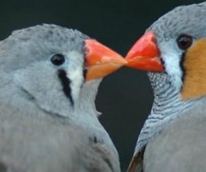 Les couples d'oiseaux discutent pour se partager les soins parentaux