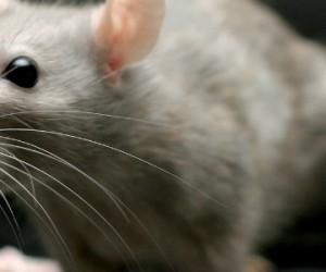 La curiosité n'est pas un « vilain » défaut chez les souris