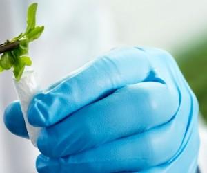 Die Modellpflanze Arabidopsis thaliana (Ackerschmalwand) wird für eine Stoffwechselanalyse schockgefroren. Die gentechnisch veränderten Pflanzen sind zuvor in Wachstumskammern unter kontrollierten klimatischen Bedingungen herangewachsen. Durch das Schockgefrieren nach der Ernte wird ihr Stoffwechsel angehalten: Forscher können so die Effekte von gentechnischen Veränderungen im Stoffwechselprofil der Pflanze genau kontrollieren und analysieren. Bei metanomics in Berlin wird der Stoffwechsel von Pflanzen systematisch analysiert. Mit Hilfe von Stoffwechselprofilen identifizieren die Wissenschaftler die Funktion jedes einzelnen Pflanzengens. In der Datenbank der metanomics sind Profile gespeichert, die mit etwa 55.000 Genen verknüpft sind. Dieses Fachwissen der BASF ist in der Pflanzenbiotechnologie einmalig. Die metanomics ist eine Tochterfirma der BASF Plant Science. Abdruck honorarfrei. Copyright by BASF.  The model plant Arabidopsis thaliana is shock frozen for metabolic analysis. The genetically modified plants are grown in growth chambers under climate controlled conditions. Shock freezing after harvest arrests their metabolism, enabling researchers to accurately monitor and analyze the effects of genetic changes in their metabolic profile.  Berlin-based metanomics systematically analyzes plant metabolism. Scientists use metabolic profiles to identify the function of each individual gene in a plant. The database at metanomics contains profiles linked to around 55,000 genes. BASF¹s expertise is unique within the plant biotechnology industry. metanomics is a subsidiary of BASF Plant Science. Print free of charge. Copyright by BASF.
