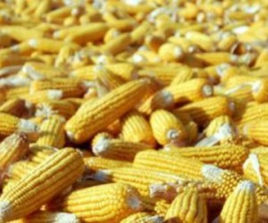 Une tolérance accrue pour les OGM et pesticides en bio ?