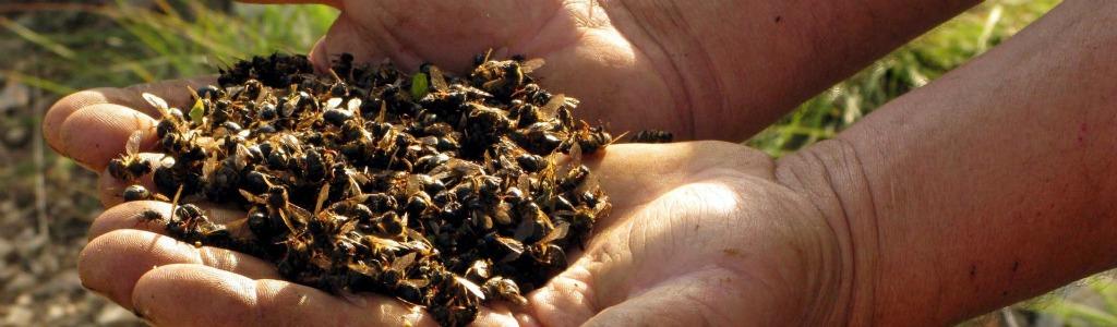 Protection des abeilles: il faut mieux prendre en compte la toxicité chronique (Anses)