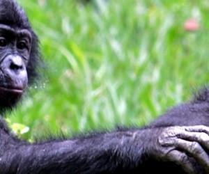 Les bonobos se souviennent de leurs anciens compagnons