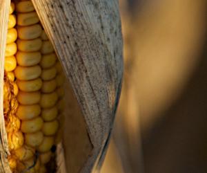 Les écologistes demandent un moratoire sur les OGM