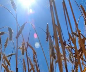 Protéger les céréales du réchauffement climatique!