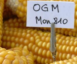Le maïs MON 810 sans risques ?