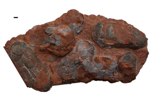 © Romain Amiot Ponte d'oviraptorosaure du Crétacé supérieur du Jiangxi (Chine). Échelle 1cm.