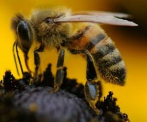 L'Anses veut mieux protéger les abeilles