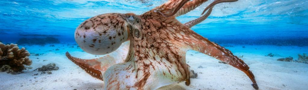 poulpe-biomimetisme