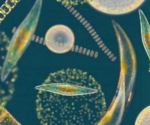 Les espèces planctoniques polaires risquent l'extinction