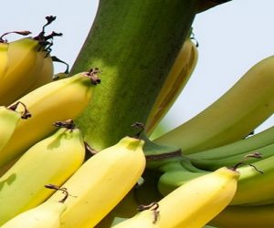 Pesticides au Nicaragua : une procédure hors-norme