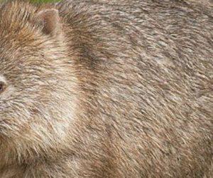 Pourquoi le caca carré des wombats intéresse autant la dynamique des fluides ?