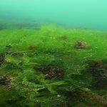 Exploiter les marées vertes grâce à une bactérie marine