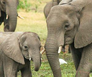 Comment le déclin des populations d'éléphants de forêt réduit les stocks de carbone dans la biomasse ?