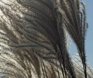 Polybiom lance son plastique de miscanthus 100% biosourcé
