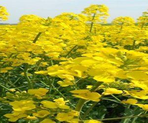 Des tournesols et colza tolérants aux herbicides à surveiller