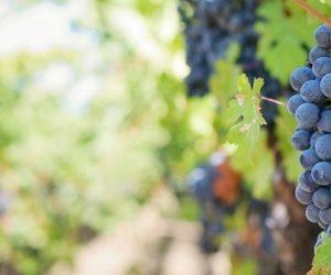 Des recherches pour valoriser les déchets viticoles