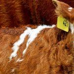 Le bétail augmente le risque d'épidémies dans le monde