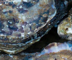44 bactéries pathogènes et 78 contaminants dans les huîtres