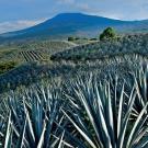 Des agaves pour booster la production des panneaux solaires dans les déserts