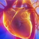 Bientôt des organes bio-artificiels !