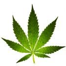 Le cannabis contenant du THC favorise la paranoïa