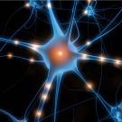 De la cellule rectale au neurone : les clés de la transdifférenciation