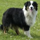 Des chercheurs assurent avoir trouvé l'algorithme du chien de berger
