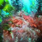 Les irréductibles algues rouges de Bretagne résistent encore au réchauffement des eaux