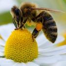Pyrénées: pas un seul facteur de surmortalité des abeilles (expertise)