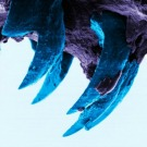 Un crustacé possède un matériau plus solide que le fil d'araignée