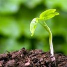 Les stratégies des plantes pour optimiser l'utilisation des nitrates