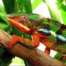 Le caméléon utilise des nano-cristaux pour changer de couleur