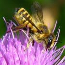 Les abeilles, accros aux pesticides qui les déciment en Europe