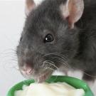 Les rats éprouvent suffisamment d'empathie pour aider d'autres rats en détresse