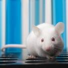 Des cellules souches embryonnaires ont permis de réparer le cerveau endommagé de souris