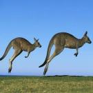 Les Kangourous sont gauchers, selon une étude