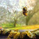 Néonicotinoïdes: la pulvérisation foliaire présente un risque pour les abeilles