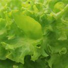 Les salades contiennent-elles trop de pesticides ?