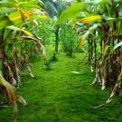 Un nouveau plant de maïs prometteur pour les biocarburants