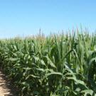 Le rendement des OGM de nouveau en question