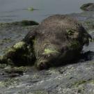Sangliers morts : la responsabilité des algues vertes se confirme