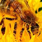 Pourquoi faut-il sauver les abeilles?