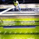 Des biocarburants à partir de microalgues : comment ça marche?