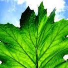 La photosynthèse, source d'énergie électrique